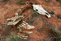 Skeleton of horse with skull Stock Photography
