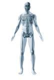 Skeleton human Royalty Free Stock Photo