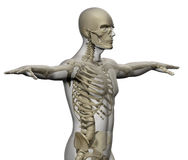 Skeleton and human body Royalty Free Stock Photography