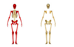 Skeleton. The human skeleton is the internal framework of the body. It is composed of 270 bones at birth[1][2][3] – this total decreases to 206 bones by Royalty Free Stock Images