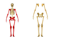 Skeleton Stock Image