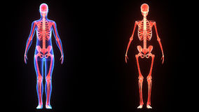 Skeleton. The human skeleton is the internal framework of the body. It is composed of 270 bones at birth – this total decreases to 206 bones by adulthood stock illustration