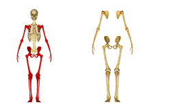 Skeleton Royalty Free Stock Photography