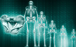 Skeleton and human pelvis Stock Images