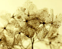 Skeleton hydrangea petals Stock Images