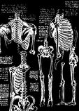 Skeleton illustration Royalty Free Stock Images