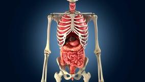 Skeleton with internal organs Royalty Free Stock Photos