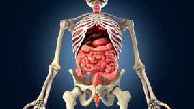 Skeleton with internal organs Royalty Free Stock Photos