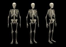 Skeleton isolated Royalty Free Stock Photos