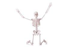 Skeleton isolated. On the white stock photos