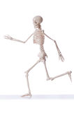 Skeleton isolated. On the white background stock photography
