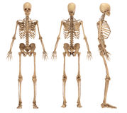 Skeleton. Isolated on white background Royalty Free Stock Photography