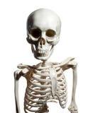 Skeleton isolated on white background Royalty Free Stock Photos
