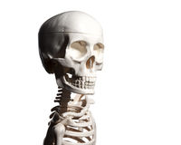 Skeleton isolated on white background Stock Images