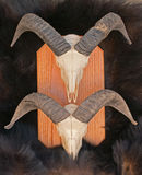 Skeleton Köpfe der RAM-Schafe auf Bärenpelz verstecken sich Stockfoto