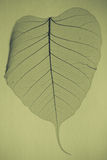 Skeleton Leaf royalty free stock photography
