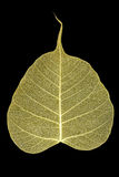 Skeleton leaf Stock Image