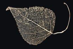 Skeleton leaf. A skeleton leaf against a black background Royalty Free Stock Photo
