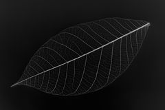 Skeleton leaf Stock Photo