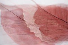 Skeleton of leaf Stock Photo
