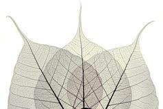 Skeleton of  leaf Royalty Free Stock Photography