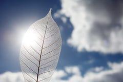 Skeleton leaf. Against dramatic sky background Stock Photo