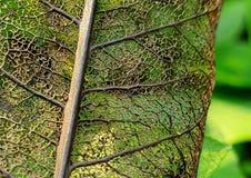 Skeleton of Leaf royalty free stock images