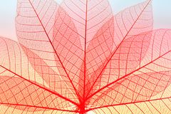 Skeleton leaf dry leaf isolated on white background.  royalty free stock photography