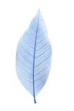 Skeleton leaf. Isolated on a white Royalty Free Stock Image