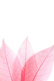 Skeleton leafs Stock Image