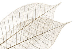 Skeleton leaves. Closeup of dried rubber tree skeleton leaves Royalty Free Stock Photography