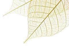 Skeleton leaves stock images