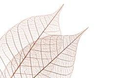 Skeleton leaves Stock Photos