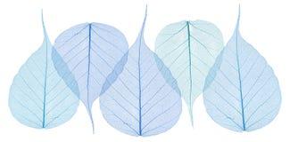 Skeleton leaves Stock Photo