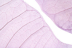 Skeleton leaves. Close-up of two purple skeleton leaves isolated on white Royalty Free Stock Photo