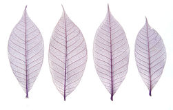 Skeleton leaves. Collection isolated on white stock images