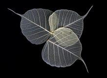 Skeleton Leaves Flower Royalty Free Stock Image