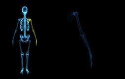 Skeleton Left hand stock illustration
