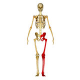 Skeleton: Leg bones Stock Images