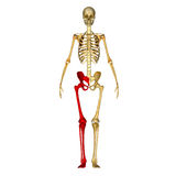 Skeleton: Leg bones Stock Photography