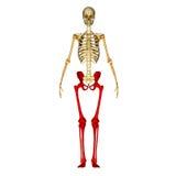 Skeleton Legs Royalty Free Stock Photo