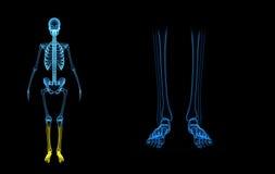 Skeleton legs Stock Images