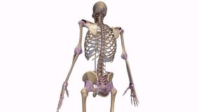 Skeleton with ligaments Stock Images