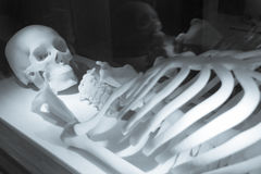 Skeleton made of resin. In the hospital stock photography