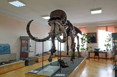 Skeleton of a mammoth in the museum exhibition Royalty Free Stock Photography