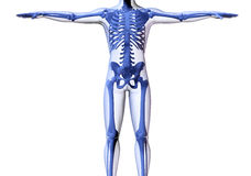 Skeleton of the man. 3D the image of a man's skeleton under a transparent skin Royalty Free Stock Images