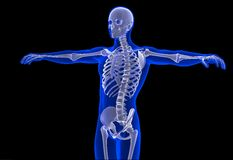 Skeleton of the man. Contains clipping path Royalty Free Stock Photography