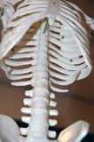 Skeleton Model. A model of the human skeleton with a focus on the spine Stock Photo