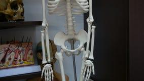 Skeleton model in class. Room. Concept: medicine, training student science stock video