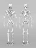 Skeleton model Stock Photos